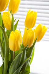 Yellow fresh tulips on light background