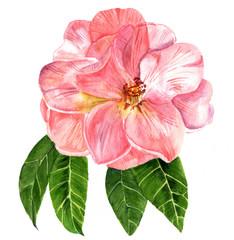 Watercolor drawing of tender pink camellia flower in bloom