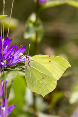 Gonepteryx rhamni, Common Brimstone, Brimstone on Clustered bellflower (Campanula glometera), Dane's blood, Germany, Europe