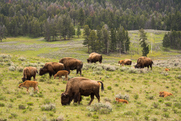 Herd of Bison with Calves in Yellowstone National Park