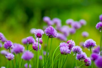 garden herb chives flower