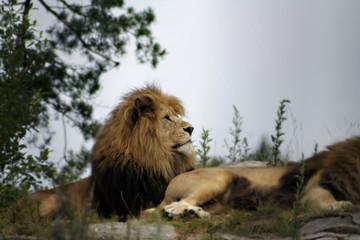 male lions relaxing in norwegian zoo