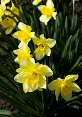 spring yellow flowers, close up