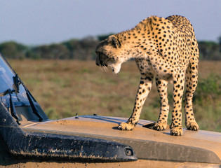 growling cheetah standing on a safari vehicle for a good look at possible prey on the Serengeti plains