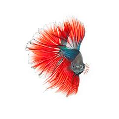 thai fighting fish . Beautiful colour