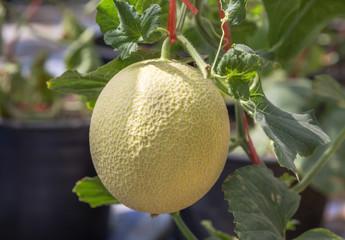 close up cantaloupe fruit hanging on tree