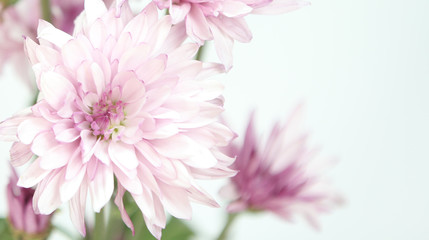 Beautiful pink flowers on a white background text area.