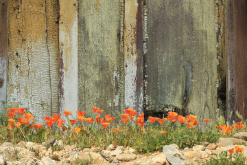 Bright orange California poppies growing alongside a weathered wooden fence.