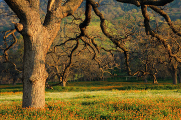 An oak tree in the spring with orange flowers..