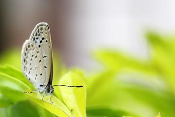 Lesser Grass Blue Butterfly in Garden