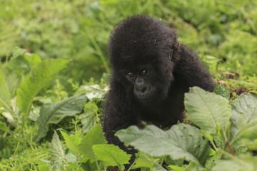 Baby Gorilla in the jungle of Rwanda