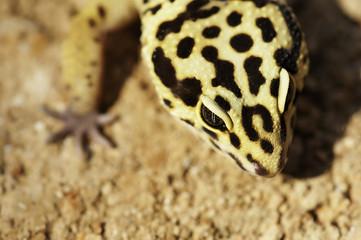 Gecko on the sand
