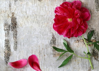 Peony flower on a wooden background. Floral background with peonia flower on a birch bark. Photo from above.
