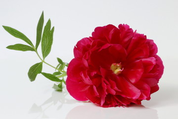 Red peony flower on a white background.