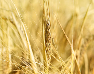 Ripe barley with selective focus and copy space. Barley field or wheat field in the sunset.