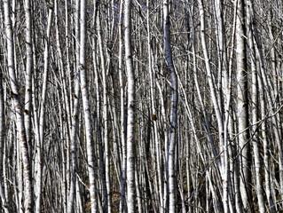 Trunks of grey alder trees