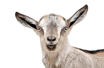 Portrait of a young gray goat