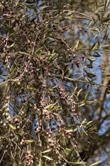 Reife Oliven am Olivenbaum