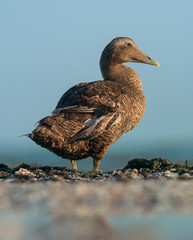 Common eider duck. Female