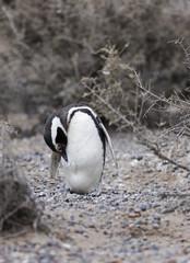Magellanic Penguin / Patagonia Penguin standing near bushes