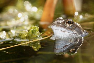 Moor Frog, Rana arvalis