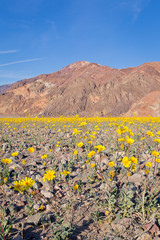 Wildflower Super bloom in Death Valley
