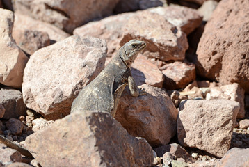 Chuckwalla lizard, native to the deserts of the southwest USA and Mexico
