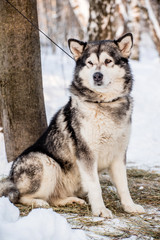 Husky in winter