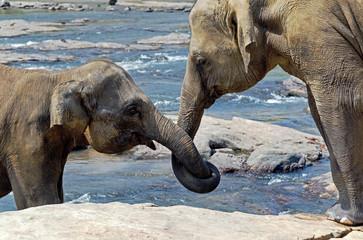 Elephant love Sri Lanka