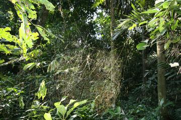 Tela de araña dorada