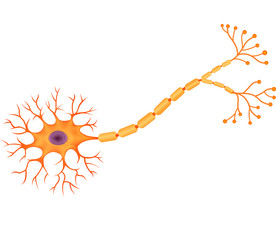 Illustration of Human Neuron Anatomy