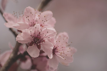 cherry blossom flowers close up