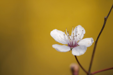 cherry blossom flower close up on yellow background