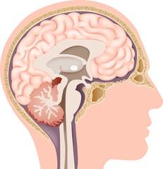 Illustration of Human Internal Brain Anatomy