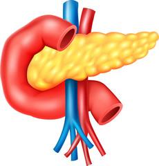 Illustration of Human Internal Pancreas Anatomy