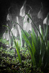 Snowdrops- spring white flowers with soft background
