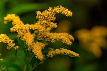 The golden rod flower growing on the summer field.
