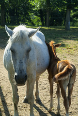 Horses, mother and son