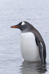 Gentoo Penguin at Paradise Harbour, Antarctica.