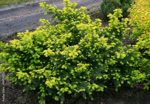taxus baccata summergold yew stockfotos und lizenzfreie bilder auf bild 104741532. Black Bedroom Furniture Sets. Home Design Ideas
