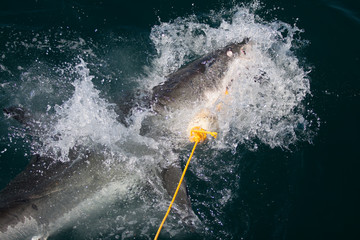 A great white shark with a bait rope in its mouth