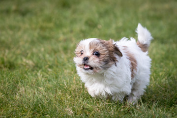 Shih Tzu Stock Photos And Royalty Free Images Vectors And
