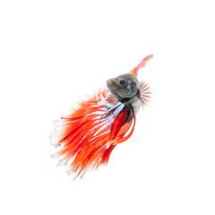 thai fighting fish . Beautiful color