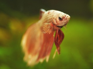 The Siamese Fighting Fish (Betta splendens) swimming in the water