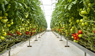 Fresh organic tomatoes growing on the vine inside a large glass house