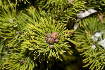 сосна дерево макро