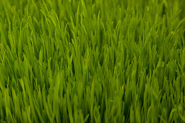 Green wheat sprouts. Green grass close-up