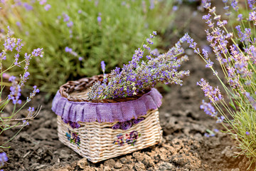 Bouquet of purple lavender field in the frame