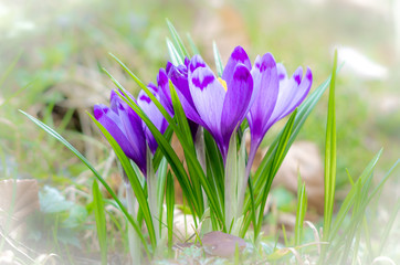 Crocus flower with shallow DOF of field in springtime. Beautiful and creative composition of a group of purple crocus flowers with selective focus and diffused background in spring.