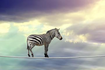 Zebra walking on a rope